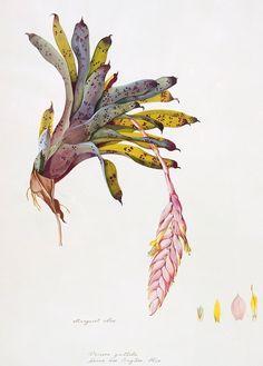 Catalog of Botanical Illustrations, Department of Botany, Smithsonian Institution