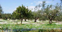 Olive grove in Peroulia, Greece