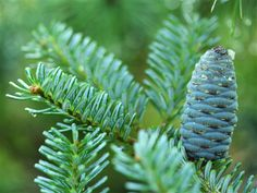 Bright, powder-blue needles on this slow-growing pyramidal selection of Korean Fir have a beautiful color throughout the year. http://www.coniferkingdom.com/product_p/abies_koreana_blue_emperor.htm