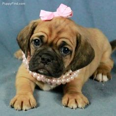 Puggle puppies!  I want a baby girl for Baxter!