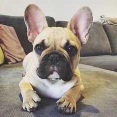 Introducing Hudson my new buddy.  Hard to get a lot done with him around. He can hear everything you do.  #FrenchBulldogPuppy #Hudson #FrenchBulldog
