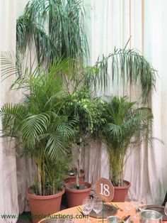 Palms are great screens, soften corners, and brighten a charity auction ballroom. Use them for beach / tropical island / Miami-style events #HavanaNights