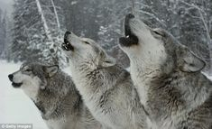 Call of the wild: Wolves howl in a snow-bound forest | About half a dozen packs inhabit the wilderness of Prince Albert National Park, so it can be difficult to pinpoint them.