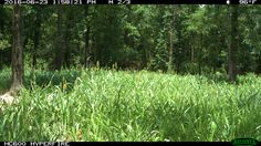 Summer has officially arrived in East Texas. As I look out across each of my food plots, it's crazy to see all of the variations. At …