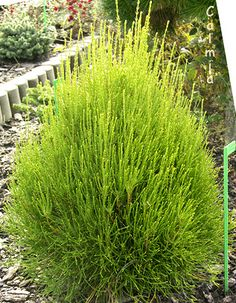 full sun to part shade, great for corner at front of house to hide electrical box Landscaping Tips, Garden Landscaping, Thuja Orientalis, Back Porch Makeover, Shade Shrubs, Low Maintenance Plants, Evergreen Shrubs, Exterior Paint Colors, Bonsai Garden