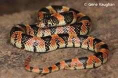 Rhinocheilus lecontei, Long-nosed Snake