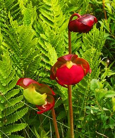 The Pitcher Plant, the provincial flower of Newfoundland and Labrador. This photo was taken a few years ago at Kejimkujik Seaside Park, Port Joli, Nova Scotia. Newfoundland Canada, Newfoundland And Labrador, O Canada, Canada Travel, Flowers Canada, Seaside Park, Atlantic Canada, Pitcher Plant, Prince Edward Island