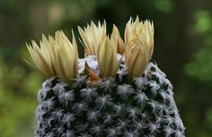 Mammillaria duwei della famiglia delle Cactacee