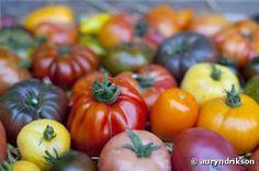Pascal Poot, l'homme qui fait pousser 400 variétés de tomates sans eau ni pesticides -  Dans cette région au climat très aride et à la terre pleine de cailloux, Pascal fait pousser des tomates bio. La particularité de sa production : il n'arrose pas les plants, ne les entretient pas, et n'utilise aucun engrais ni pesticide ! Et ses plants produisent jusqu'à 25 kg de tomates chacun  --- Il vend ses graines -- Bioaddict