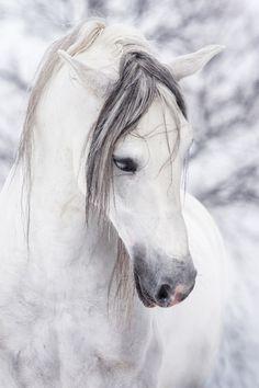 """qniko: """" J'adore les chevaux blancs. """""""