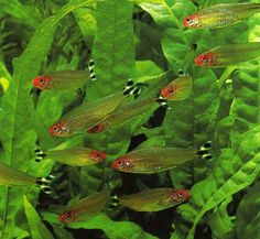 Just added 12 of these little guys to my tank. : ) They are the first schooling fish that I have kept that actually... school. These are rummy nose tetras.