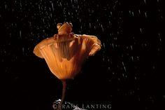 #photographer : Frans Lanting - Borneo red flying frog in mushroom, Rhacophorus pardalis, Sabah, Borneo