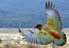 Kea in flight Exotic Birds, Colorful Birds, New Zealand Tattoo, Budgies, Parrots, Kiwiana, Feather Painting, Parakeet, Bird Art
