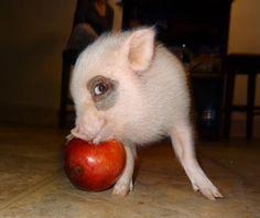 Piggy got's an apple.
