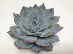 Echeveria Blue Star and all other varieties of Echeveria available for wholesale purchase. They are popular wedding flowers for use in bouquets. Succulent Tattoo, Succulent Names, Summer Flowers, Pretty Flowers, Blue Flowers, Echeveria, Pictures Of Succulents, Blue Succulents, Wholesale Succulents
