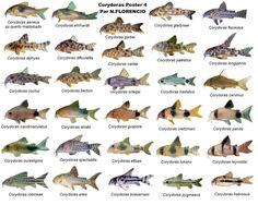 Poster de Peixes - Galeria de Peixes de Água Doce - Galeria de Imagens - Aquariofilia.net