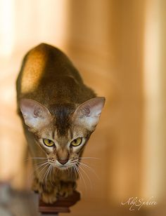 Abyssinians are cool.
