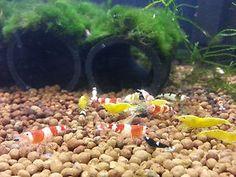 4 Crystal Black Shrimp SS Grade + 3 Crystal Red Shrimp S Grade. Sub adult size