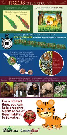 Sumatran tiger plight