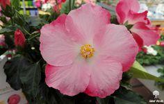 Ibiscus rosa #ibiscus #vivaidealverde #flower