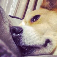 He sleeping.... #dog #corgi