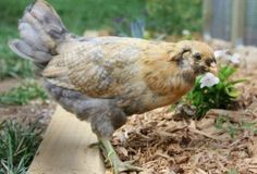 Small Chick Order: How to Pick your Breed Easter Egger Chicken, Home Vegetable Garden, Mini Farm, Chickens And Roosters, Chicken Breeds, Garden Edging, Mermaid Blanket, Small Farm, Raising Chickens