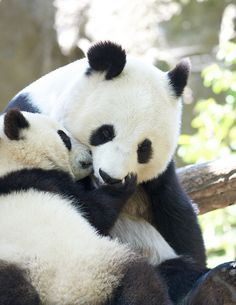 hmerelie:  Pandas♥ | via Tumblr on We Heart It. http://weheartit.com/entry/63025690/via/MariiaBieber
