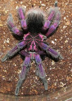 Mature male Platyomma tarantula, photo by Roberta Grace, - Arthropods - - Beautiful Creatures, Animals Beautiful, Cute Animals, Beautiful Bugs, Amazing Nature, Spiders And Snakes, Cool Bugs, A Bug's Life, Bugs And Insects