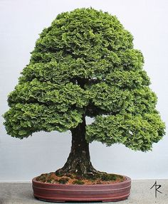 Cypress Bonsai | Part of the permanent bonsai collection at … | Flickr Fosterginger.Pinterest.ComMore Pins Like This One At FOSTERGINGER @ PINTEREST No Pin Limitsでこのようなピンがいっぱいになるピンの限界