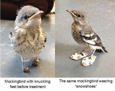 Itty-Bitty Injured Bird Wears Itty-Bitty Snowshoes to Heal