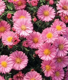 asters-fall flowering