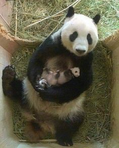 VERY proud mummy panda enjoys a cuddle with her babies - - The heart-warming pictures of the panda mother and her cubs from Schönbrunn Zoo in Vienna has ended a month of speculation as it was confirmed for the first time they were a boy and a girl. Panda Bebe, Cute Panda, Panda Funny, Panda Panda, Cute Baby Animals, Animals And Pets, Funny Animals, Mother And Baby Animals, Wild Animals