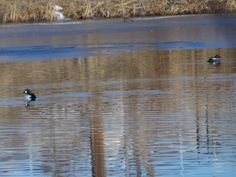 Common Goldeneye ©Clark Anderson. Wild Bird Company - Boulder, CO. Saturday Morning Bird Walk in Boulder County - March 7, 2015.