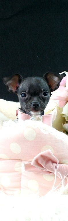 Chihuahuas for sale, teacup chihuahua dogs