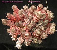http://www.jjcactus-succulents.net/images/Haworthia/Haworthia%20731.jpg
