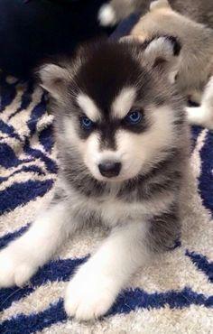 I Love Dogs, Puppy Love, Husky Breeds, Husky Photos, Sad Pictures, Fun Facts, Cute Animals, Puppies, Siberian Huskies