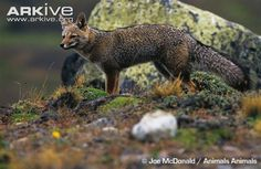 South American grey fox - View amazing South American grey fox photos - Pseudalopex griseus - on Arkive Grey Fox, Foxes, American, All Pictures, Southern, Animals, Beauty, Image, Grey Hair