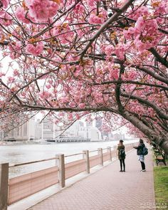 Roosevelt Island blossom by matostory by newyorkcityfeelings.com - The Best Photos and Videos of New York City including the Statue of Liberty Brooklyn Bridge Central Park Empire State Building Chrysler Building and other popular New York places and attractions.