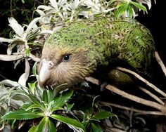 #kakapo