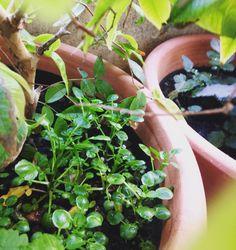 Meus agriões servindo de forração para a jabuticaba. Foi o local onde se desenvolveram melhor.  #minhahorta #saberesdojardim #hortaemvaso #varanda #hortanavaranda #agrião #hortaliças