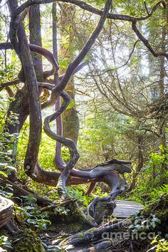 one of the coolest trees you will ever see, a coastal arbutus on Vancouver island in all it's twisted beauty Canada Holiday, Big Tree, Vancouver Island, Canada Travel, Beautiful Places, Amazing Places, Weekend Getaways, British Columbia, Adventure Travel