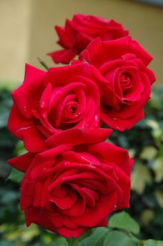 Beautiful Red Roses~
