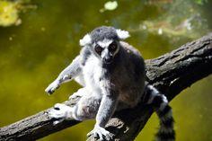 Lemure ad anelli, Foto del giorno - NatGeoFan