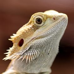 Animal Friend: POGONA VITTICEPS