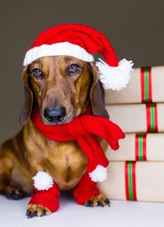 Find Cute Holidays Dog Presents stock images in HD and millions of other royalty-free stock photos, illustrations and vectors in the Shutterstock collection. Dachshund Funny, Arte Dachshund, Dachshund Puppies, Dachshund Love, Yorkie Puppy, Daschund, Dog Christmas Pictures, Santa Pictures, Christmas Animals