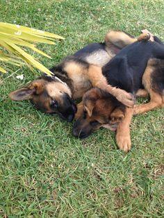 GSD Puppies-Sole & Arturo