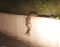 Watch The Adorable Moment This Raccoon Family Uses Incredible Teamwork To Scale A Wall.