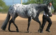 Appaloosa Horses for Sale | Jay Bar Roman Cloud, Appaloosa Gelding in Arizona