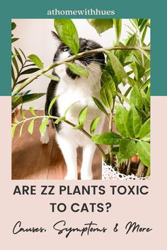 Are zz plants toxic to cats? This guide answers that all important question! It also includes what to do if your cat encounters poisoning and how to avoid this in the first place! Houseplants Safe For Cats, Toxic Plants For Cats, Zz Plant Care, Easy Care Indoor Plants, How To Attract Hummingbirds, Orchids, Gardening, Pets, Flowers
