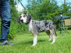 Dunker hound, norvegian
